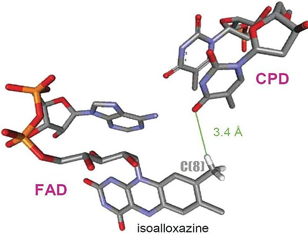 Molecular structure of PNA photolyase binding in close proximity to FAD cofactor
